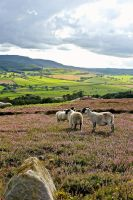 Moorland with sheep by muzzy500