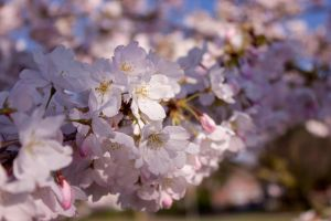 Cherry Blossom Branch by J-the-Ninja
