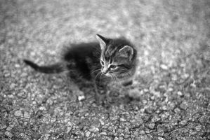 Kitten by GregRowell