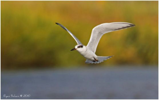 Forster's Tern by Ryser915
