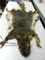 Fox Squirrel - Full Pelt by AtypicalAnimal