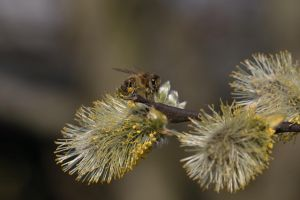 Bee in a Willow by organicvision