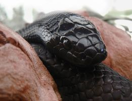 Mexican Black Kingsnake by TalkStock
