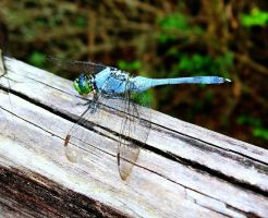 Blue Dragonfly by Kate419882