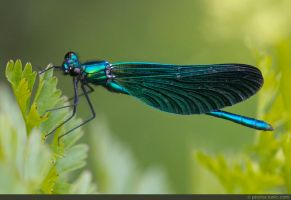 Beautiful Demoiselle Damselfly by runique