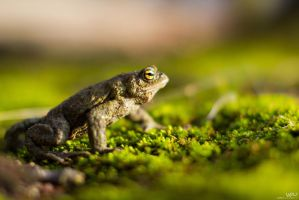 Frog 2 by Lasiu7