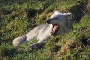 Yawning Lounging Wolf Reference 1 by FurLined