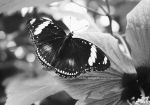 butterfly on hibiscus by cloe-patra