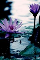 Water Lilly 18 by Art-Photo