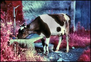 Infrared cow by SUDOR