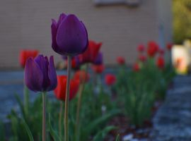 The Red and Purple parade by jena4renna