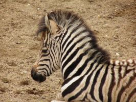 Little zebra by JanuaryGuest