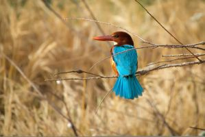 White-Throated Kingfisher by rat-or-rat