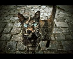 A cat called hipnoz by dcamacho