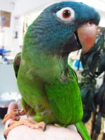 Blue Crowned Conure by koshplappit