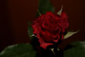 Red Rose 1 by gaothaire
