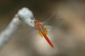 Red DragonFly by HellWars2