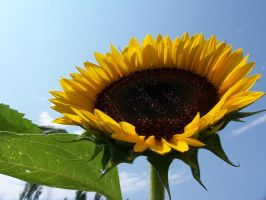 Sunflower 4 by colorforme
