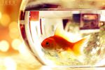 Golden fish ... by aoao2