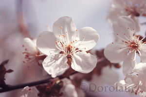 Pear blossom by dorolain