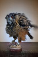 Great Horned Owl by sanjab