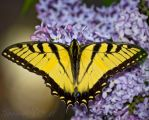 Eastern Tiger Swallowtail by Gooiool