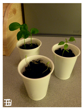 Lemon, apple and pommegranade saplings progress by griffsnuff