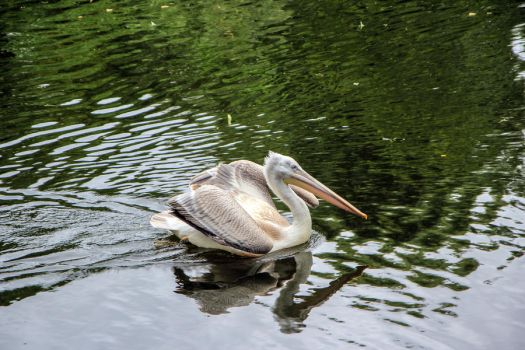 Pelican 01 by Pagan-Stock