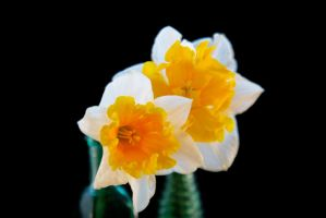 Daffodils Stock by Moonchilde-Stock