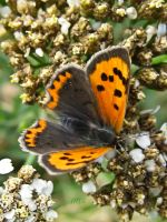 Small Copper Butterfly by iriscup