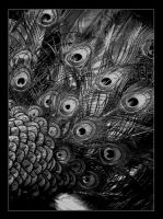 pavo in black and white by erlebnis