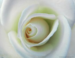 The Heart of a White Rose by artamusica