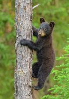 Bear Cub 2 by Les-Piccolo