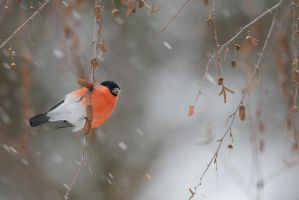 Endagered : Eurasian Bullfinch by phalalcrocorax