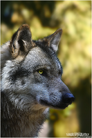 .:Autumn Wolf Profil:. by WhiteSpiritWolf