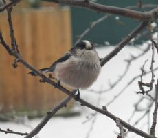 Long tailed tit by princessmoony