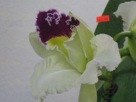 146 orchid show by crazygardener