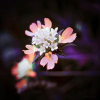 Blossom by abstract42