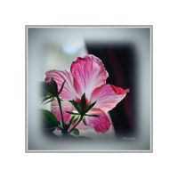 Hibiscus a la fenetre I by hyneige