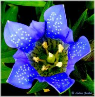 Blue Flower III by lukias-saikul