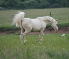 The white stallion by ChestnutArabs