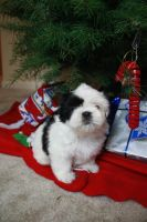 Shih Tzu Puppy 2 by SteeleShutter