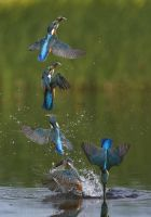 Kingfisher Sequence by Albi748