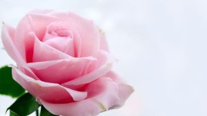 Rose WP-2 by CraftFlowers