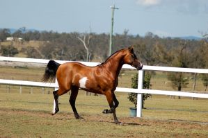 GE arab pinto stallion trot side view by Chunga-Stock