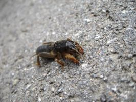 Mole cricket by daanil