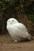 Snowy owl by steppelandstock