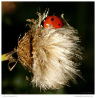 Ladybird Fluff 32 of 365 by In-the-picture