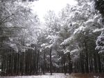 Snowy Trees by Pippi929
