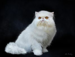 Portrait of a persian cat. by doormouse1960